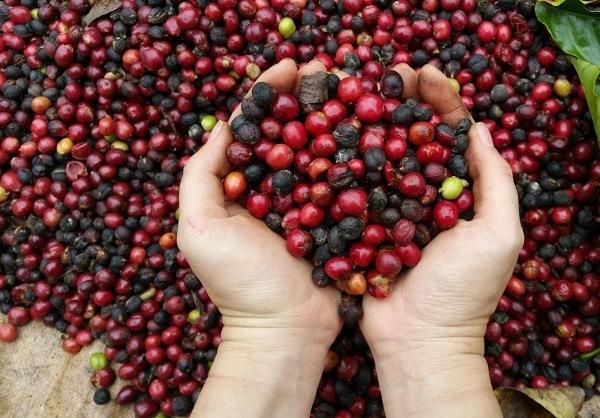 Cây cà phê- giá trị kinh tế của cà phê